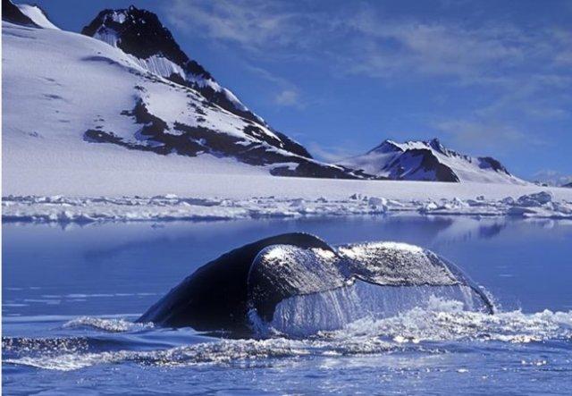 Joyeux noel baleine blanche 1